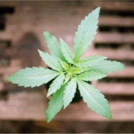 Triple_leaf_cannabis_plant